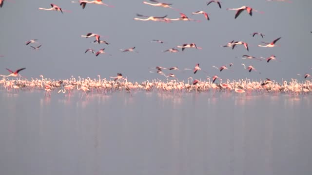 thousands of flamingo chicks emerge from their nests at salt lake which is home for the biggest flamingo colony in turkey and the mediterranean basin... - konya stock videos and b-roll footage