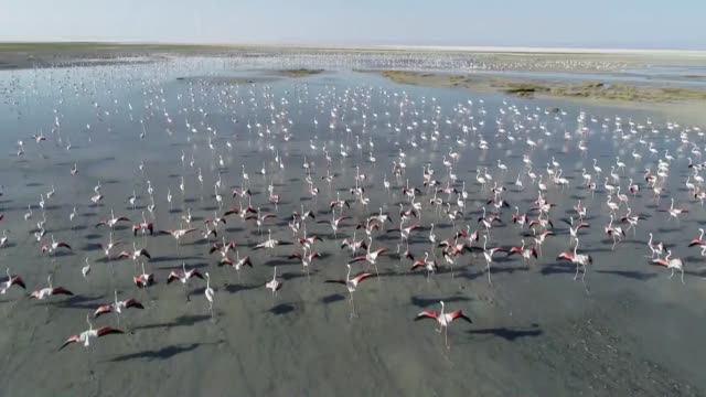 thousands of flamingo chicks emerge from their nests at salt lake which is home for the biggest flamingo colony in turkey and the mediterranean basin... - flamingo chick stock videos & royalty-free footage