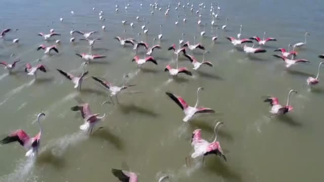 thousands of flamingos in lake van start their annual migration to warmer climates to carry out their vital functions on september 10 2017 in van... - lake van stock videos and b-roll footage