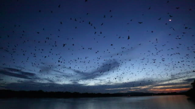 thousands of flying fox at dusk in the kimberley - bat animal stock videos and b-roll footage
