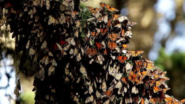 thousands of migrating monarch butterflies california pacific grove - monarch butterfly stock videos & royalty-free footage