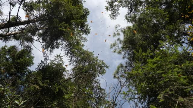 vidéos et rushes de thousands of monarch butterflies flying among the trees, piedra herrada sanctuary (valle de bravo) - mexique