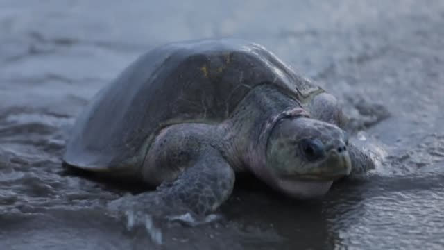 thousands of paslama turtles in danger of extinction due to the looting of their nests arrive slowly at la flor beach in nicaragua's southern pacific... - threatened species stock videos & royalty-free footage