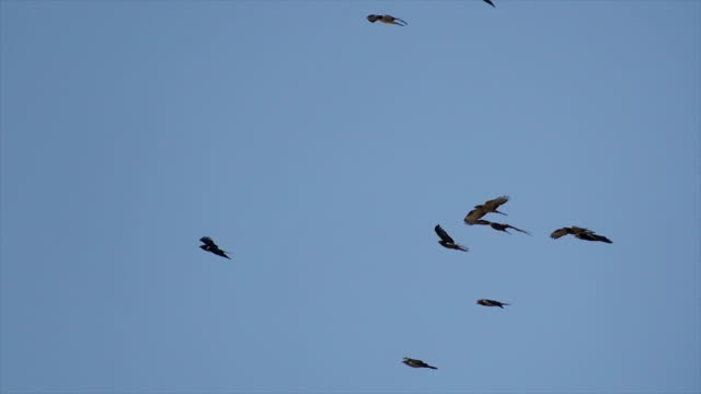 thousands of raptors mainly honey buzzards,migrate above eilat mountains on their journey north - 翼を広げる点の映像素材/bロール