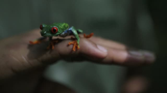 thousands of red-eyed frogs an endangered species from the rainforests of mexico central america and colombia found protection from the effects of... - managua stock videos & royalty-free footage
