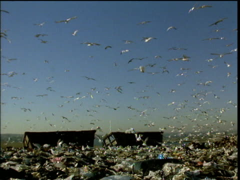 thousands of seagulls flying over landfill site pan right to industrial tractor crushing rubbish under blue sky - aas fressen stock-videos und b-roll-filmmaterial
