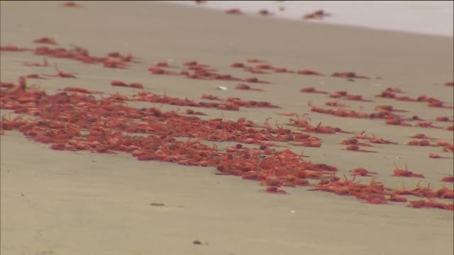 ktla thousands of small crabs native to the waters off baja california have washed up on beaches in orange and san diego counties coating the sand in... - krabbe stock-videos und b-roll-filmmaterial