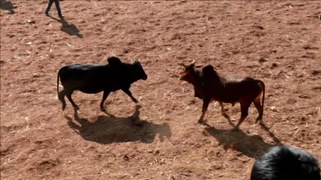 thousands of spectators pack a makeshift arena in nepals himalayan foothills to cheer a bullfighting festival whose popularity dates back to the 19th... - makeshift stock videos and b-roll footage