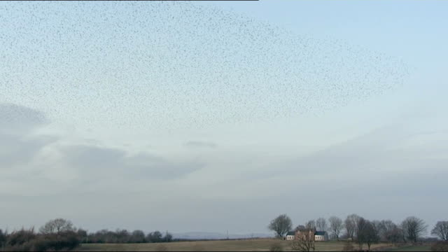 vídeos de stock e filmes b-roll de thousands of starlings make a dazzling display as they swoop and wheel through the sky; scotland: gretna green: ext various of flock of starlings... - bare tree