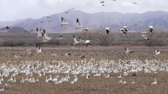 千雪ガチョウ サンドヒル クレーン ニューメキシコ州リオ ・ グランデ ・ バレー - 雁点の映像素材/bロール