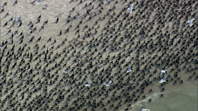 thousands upon thousands of birds  - aerial view - north carolina,  carteret county,  united states - mass unit of measurement stock videos and b-roll footage