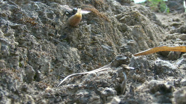 thread waisted wasp climbing up the rocky slope with her prey and tachina fly following behind her - animals in the wild stock videos & royalty-free footage
