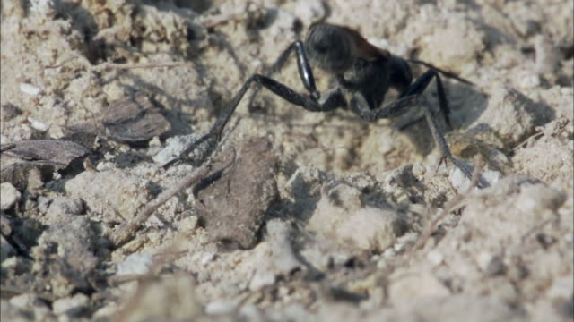 thread waisted wasp digging a hole to store her prey - animals in the wild stock videos & royalty-free footage