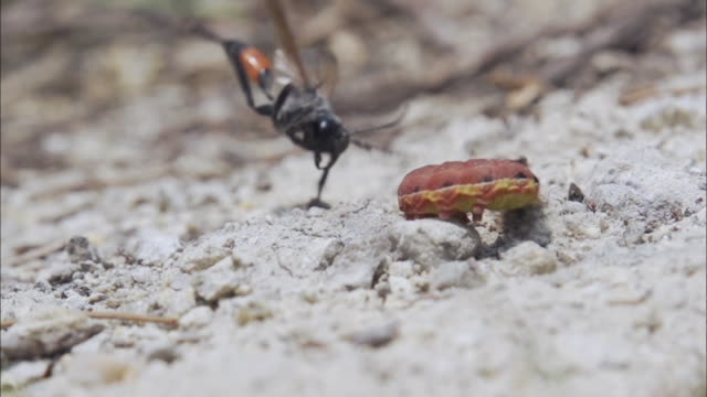thread waisted wasp hunting larva for her baby - caterpillar stock videos & royalty-free footage