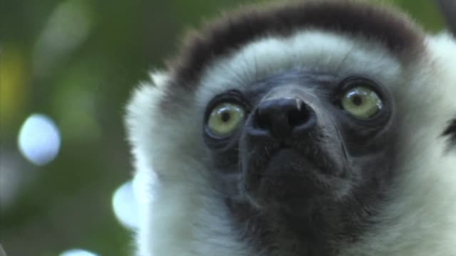 threatened by deforestation and hunting many species of lemurs which are unique to the island of madagascar are taking refuge in private sanctuaries - threatened species stock videos & royalty-free footage