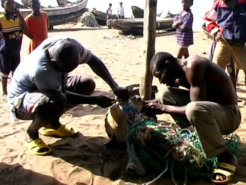 threatened by fishermen and pollution sea turtles are under threat in benin cotonou benin - benin stock videos and b-roll footage