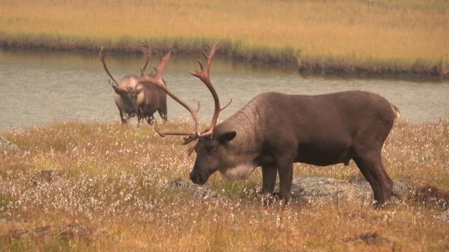 hotade mountain caribou tonquin valley jasper national park alberta kanada - vaja bildbanksvideor och videomaterial från bakom kulisserna