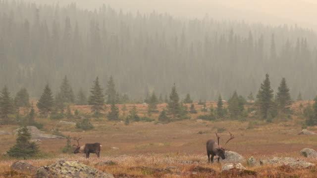 Bedreigde berg caribou Tonquin Valley Nationaal Park Jasper Alberta Canada