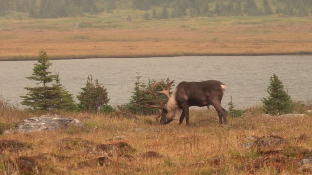 threatened mountain caribou tonquin valley jasper national park alberta canada - rocky mountains north america stock videos & royalty-free footage