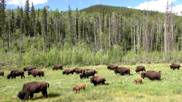 threatened nordquist wood bison herd along alaska highway northern british columbia canada - american bison stock videos & royalty-free footage