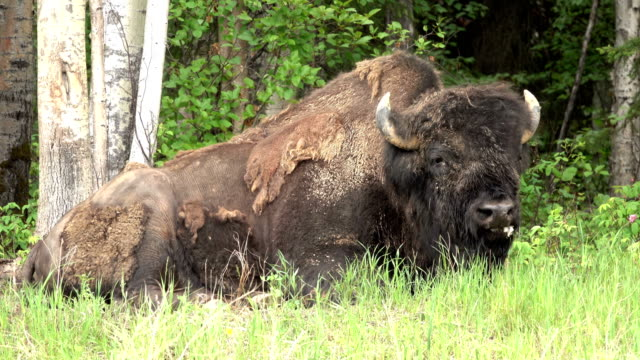Threatened Nordquist Wood Bison relaxes Alaska Highway northern British Columbia Canada