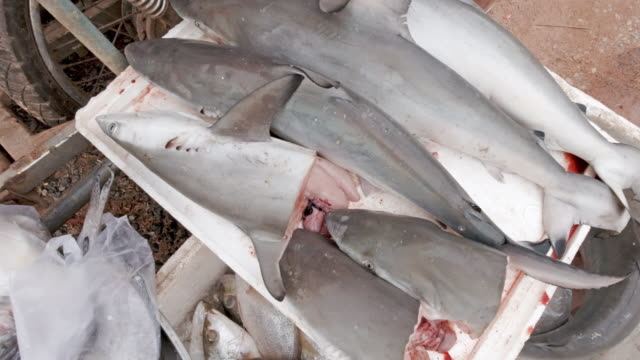 threatened species blacktip reef sharks for sale in fish market thailand - shark stock videos & royalty-free footage