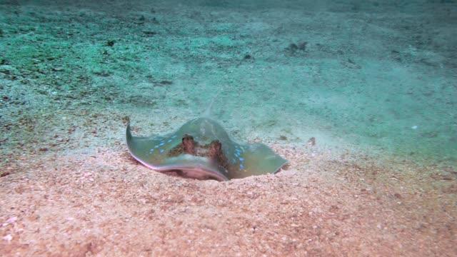 bedrohte arten kuhl es bluespotted stingray (neotrygon kuhlii) fütterung auf garnelen - animal behaviour stock-videos und b-roll-filmmaterial