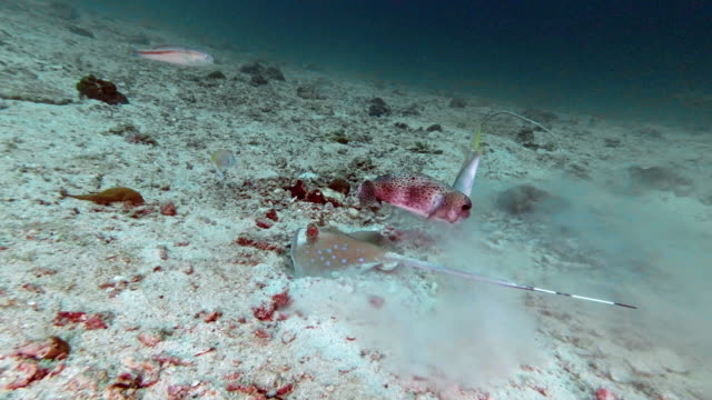 threatened species kuhl's bluespotted stingray (neotrygon kuhlii) hunting on ocean floor - bluespotted stingray stock videos & royalty-free footage