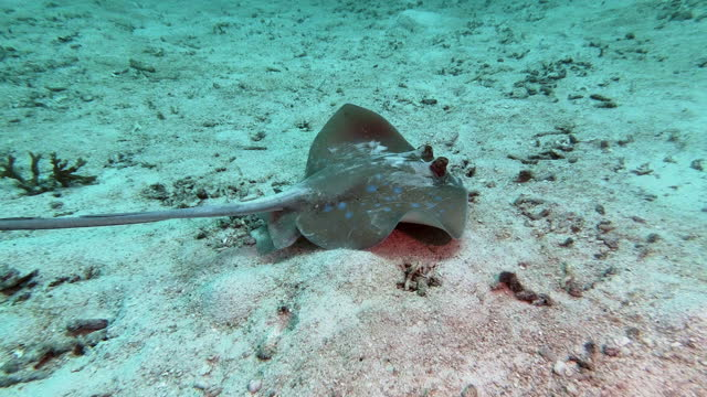 threatened species stingray gliding over sand in search of prey - stingray stock videos & royalty-free footage