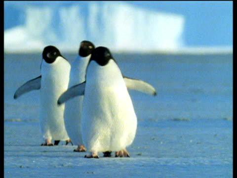 vidéos et rushes de three adelie penguins waddling over ice blue landscape with large iceberg and blue sky in background, antarctica - iceberg bloc de glace