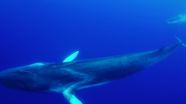 three adult fin whales swim past the camera with one turning to look. - fin whale stock videos & royalty-free footage