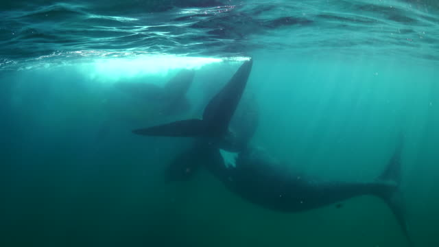 three adult southern right whales come together at the surface, nuevo gulf, valdes peninsula, argentina. - tail fin stock videos & royalty-free footage