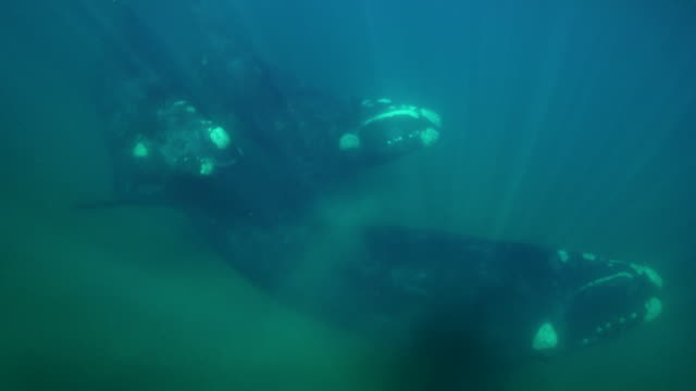 three adult southern right whales swim past the camera, nuevo gulf, valdes peninsula. - southern right whale stock videos & royalty-free footage