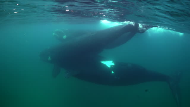 three adult southern right whales swimming together at the surface, nuevo gulf, valdes peninsula, argentina. - southern right whale stock videos & royalty-free footage