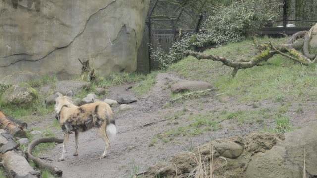 Three African Wild Dogs wander together behind a fence