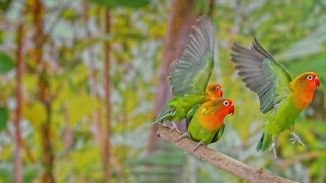 slo mo three agapornis parrots flying off a branch - three animals stock videos & royalty-free footage