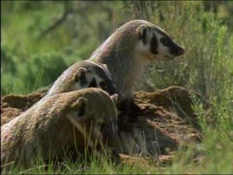 vídeos y material grabado en eventos de stock de three american badgers (taxidea taxus) looking out over field from den / one badger looking at camera / wyoming - grupo pequeño de animales