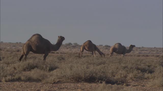 ws three australian camels grazing, marree races, south australia, australia - camel stock videos & royalty-free footage