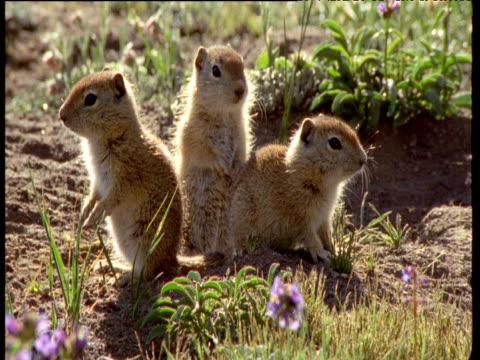 vídeos y material grabado en eventos de stock de three baby belding's ground squirrel, two dive back into hole, montana - madriguera