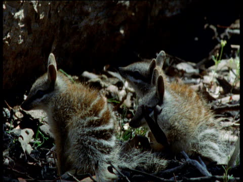 Three baby Numbats, one sticks tongue out then all three sit up alert, Australia