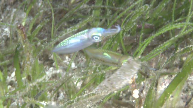 three baby squid, southern visayas, philippines - sea grass plant stock videos & royalty-free footage