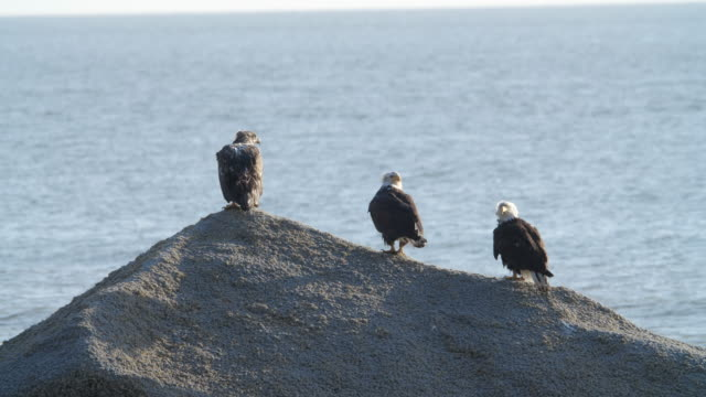 vídeos de stock e filmes b-roll de three bald eagles standing on top of a rock in sea water in alaska - grupo pequeno de animais