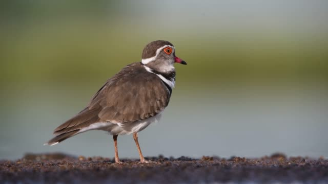 three banded plover in a nature reserve, south africa - eyal bartov stock videos and b-roll footage
