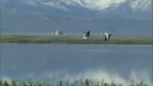 Three bar headed geese fly low over lake, Bayanbulak grasslands.