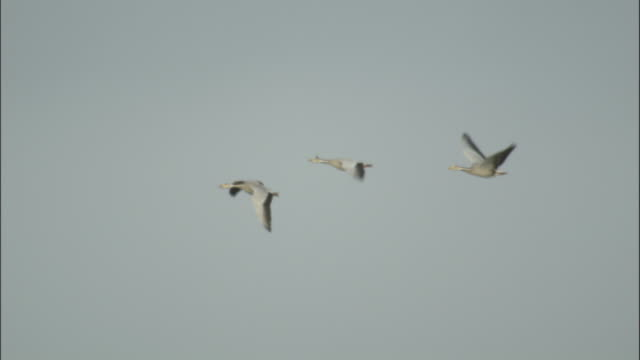 three bar headed geese fly over prairie, bayanbulak grasslands. - goose stock videos & royalty-free footage