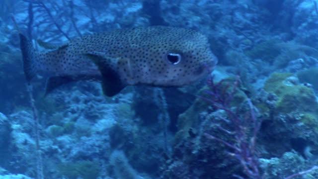 three bar porcupinefish dicotylichthys punctulatus - balloonfish stock videos and b-roll footage