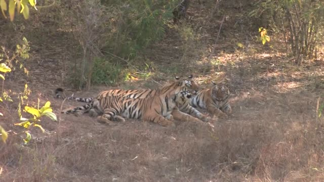 three bengal tigers lying on dry grass - madhya pradesh stock videos and b-roll footage