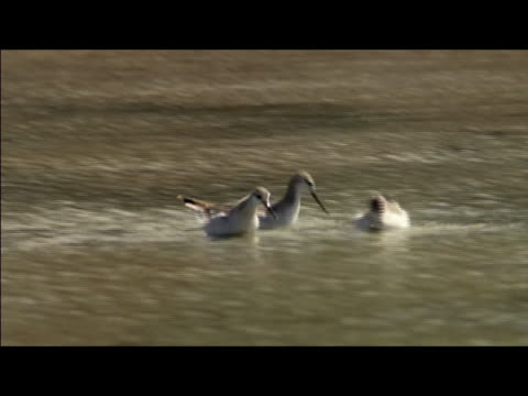 vídeos de stock, filmes e b-roll de three birds swimming in lagoon and dipping beaks in water / galapagos islands - formato letterbox