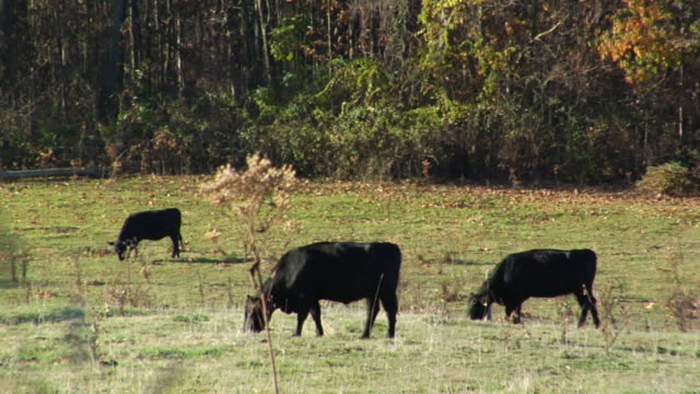 three black cows grazing on field all three facing same direction dense trees bg rural farm cattle countryside country - repetition stock videos and b-roll footage