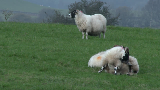 Three black faced sheep in a field on a grey overcast day